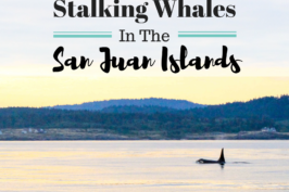 Stalking Whales In The San Juan Islands