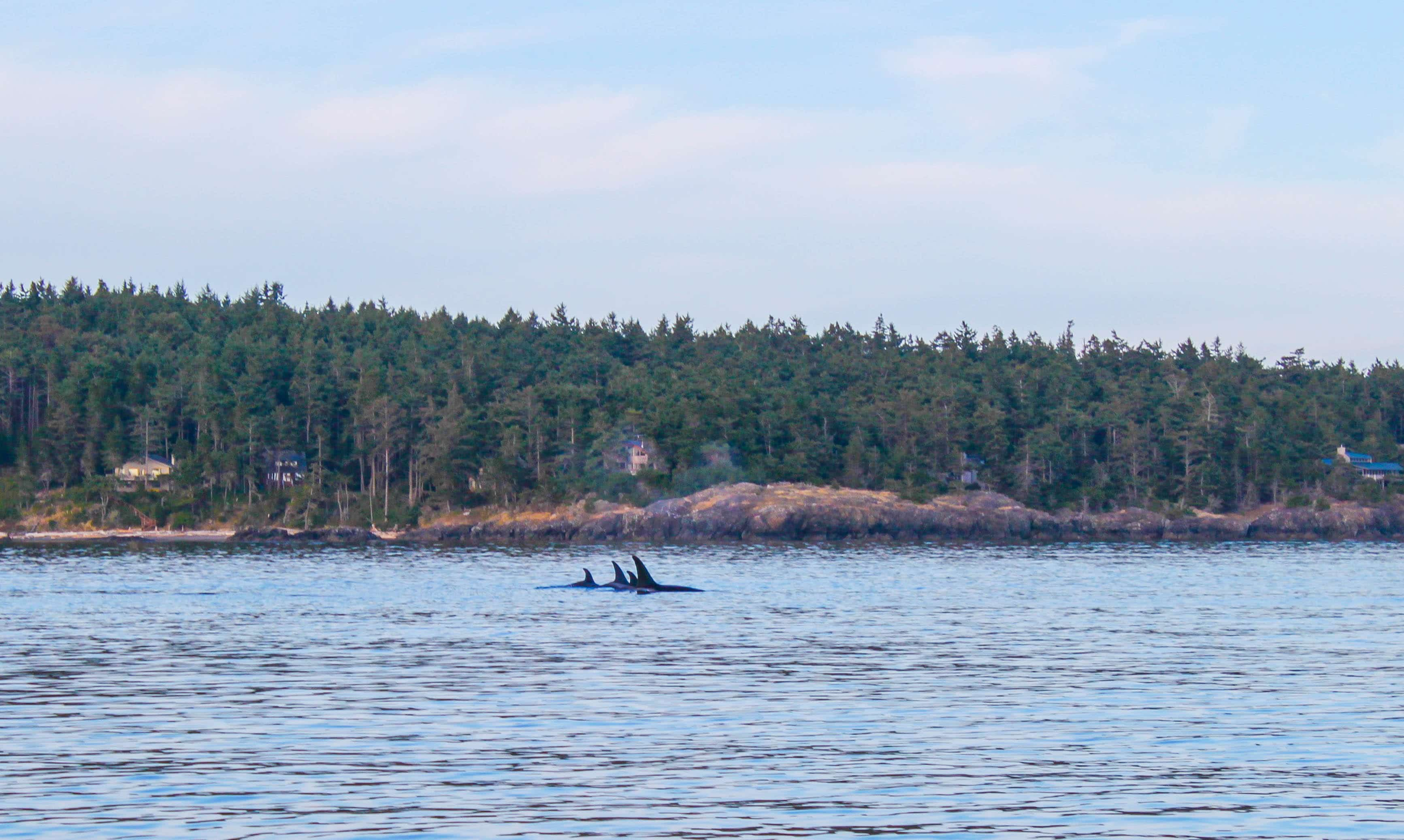 Whale Staking In The San Juan Islands