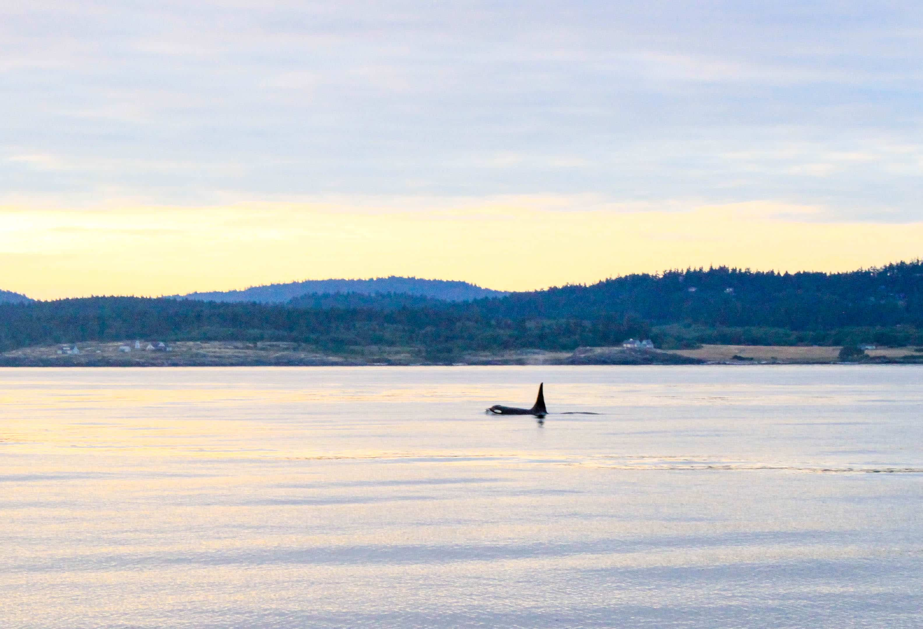 Whale Stalking In The San Juan Islands