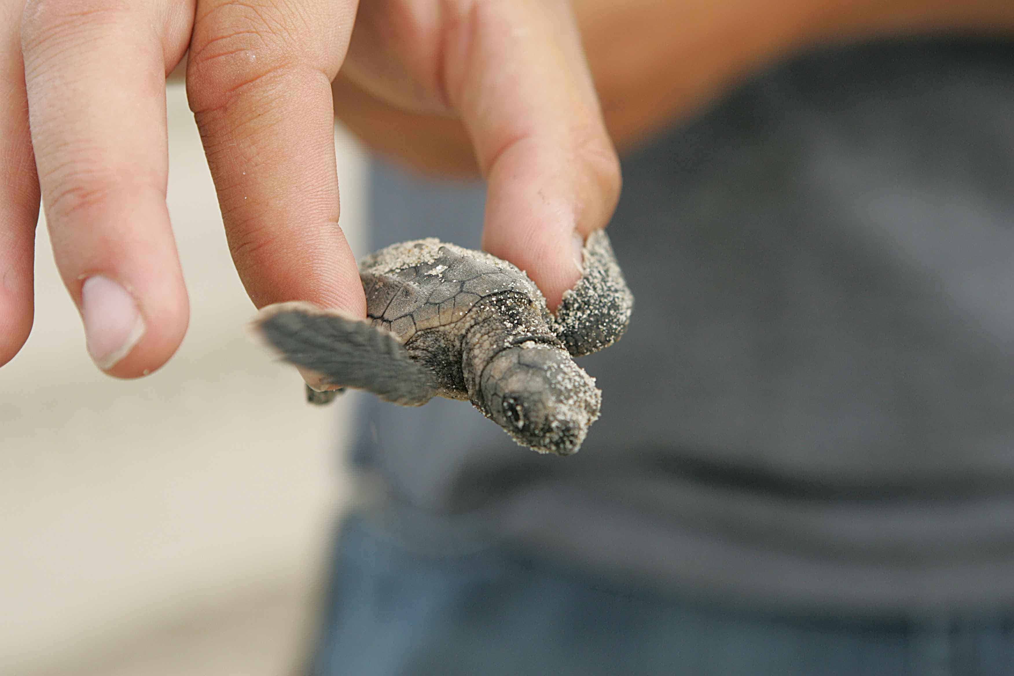 Holding Sea Turtles - Worlds cruelest tourist attractions
