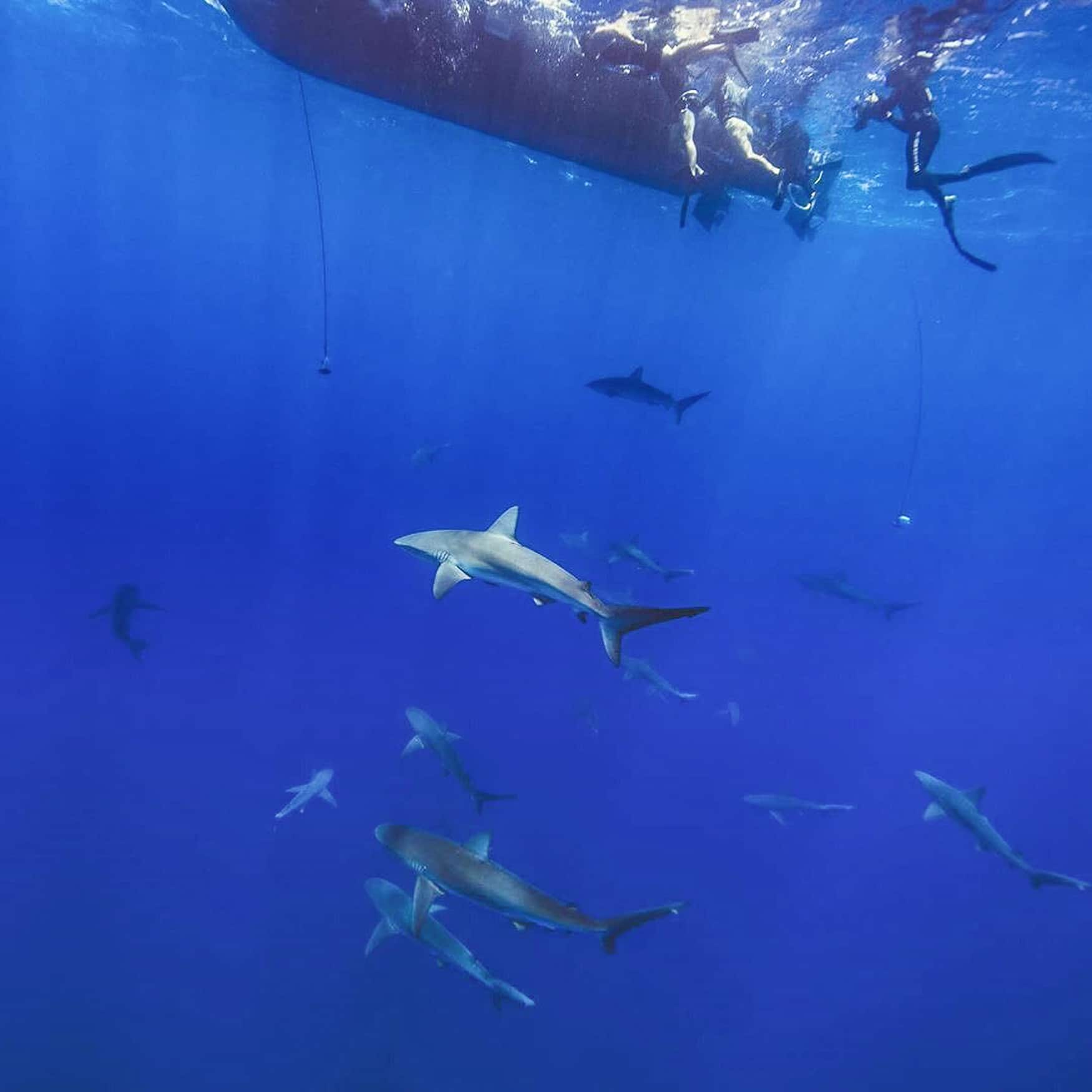 Swimming With Sharks In Hawaii (And Why You Should Try It)